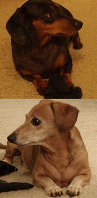 State by State Listing of Dachshund Rescues
