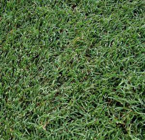 Guide to the 5 Best Grass Types for Arizona Lawns: Grass in Phoenix - Celebration Bermudagrass