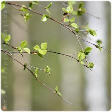 Birch baby leaves