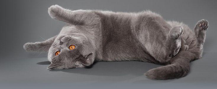 Britisch Kurzhaar Katze und ihr Charakter
