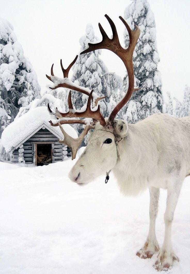 Uno de los Renos de Papá Noel en la Laponia finlandesa
