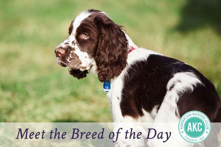 English Springer Spaniel Dog Breed Information - American Kennel Club