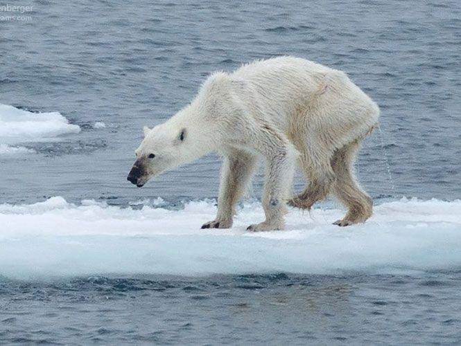 Osa polar desnutrida: Los efectos del calentamiento global