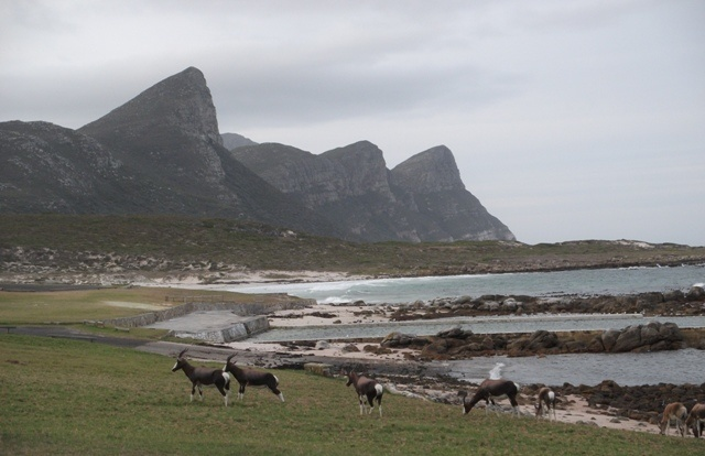 Bontebok by the Buffels Bay tidal pool,  Cape Point National Park, Cape Town, South Africa