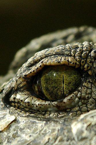 Ojo reptil - Animal -> Por: Angel Catalán Rocher <- Sígueme!