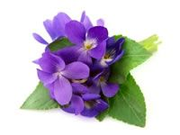Wood Violet flower art reference for Wisconsin