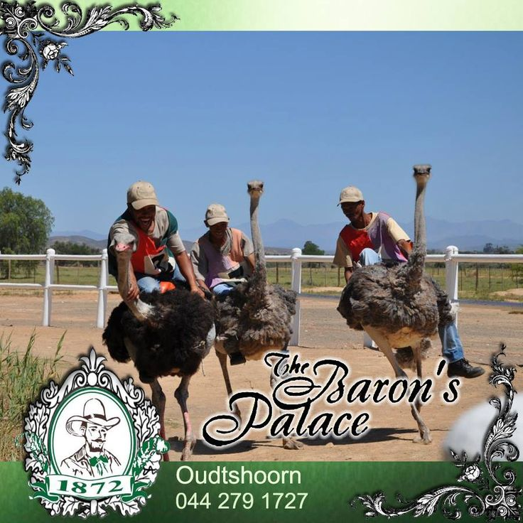 Baron's Palace is within a short travelling distance from all the major attractions of the Klein Karoo and one of the biggest draw cards to the area is the age old tradition of Ostrich racing. Book your accommodation with us and venture out and explore this beautiful area. #destinations #ostrichfarming #racing