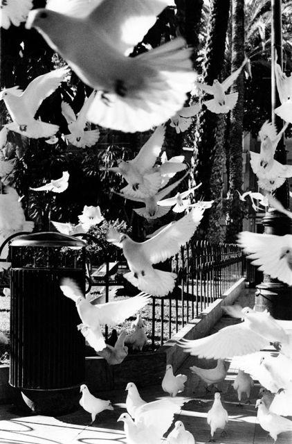 Doves by Keith Moss http://keithmoss.co.uk #doves #birds #film #street #ilford #keithmoss