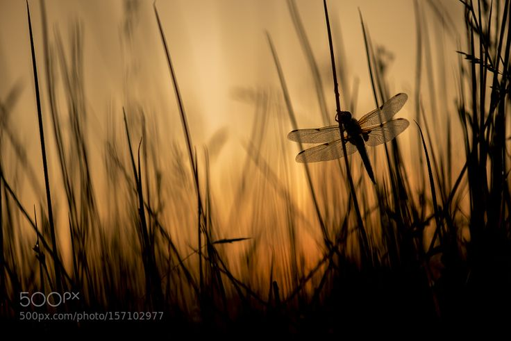 Four-Spotted Chaser at sunrise by ErikVeldkamp. @go4fotos