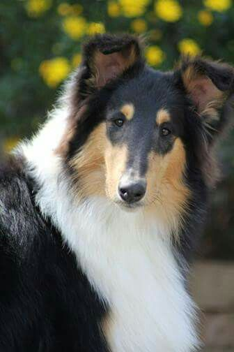 From I Love My Collie