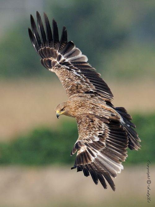peregrineinastoop:    Eastern Imperial Eagle by Andy Li