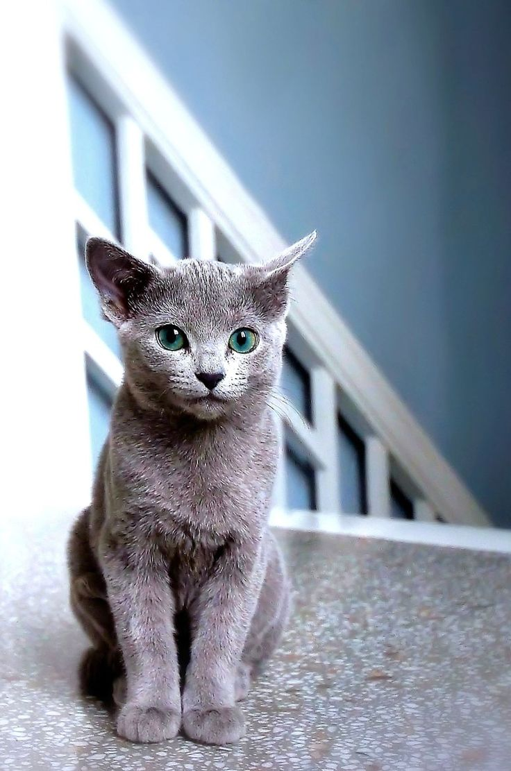 Russian Blue Cat = Dream Cat! She looks like my Graycie!