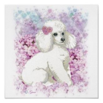 White Poodle in Lilacs Poster Print