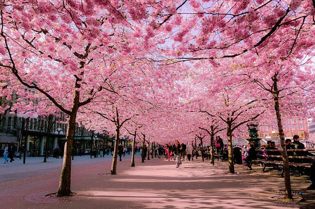 Сакура,конец марта,Япония.