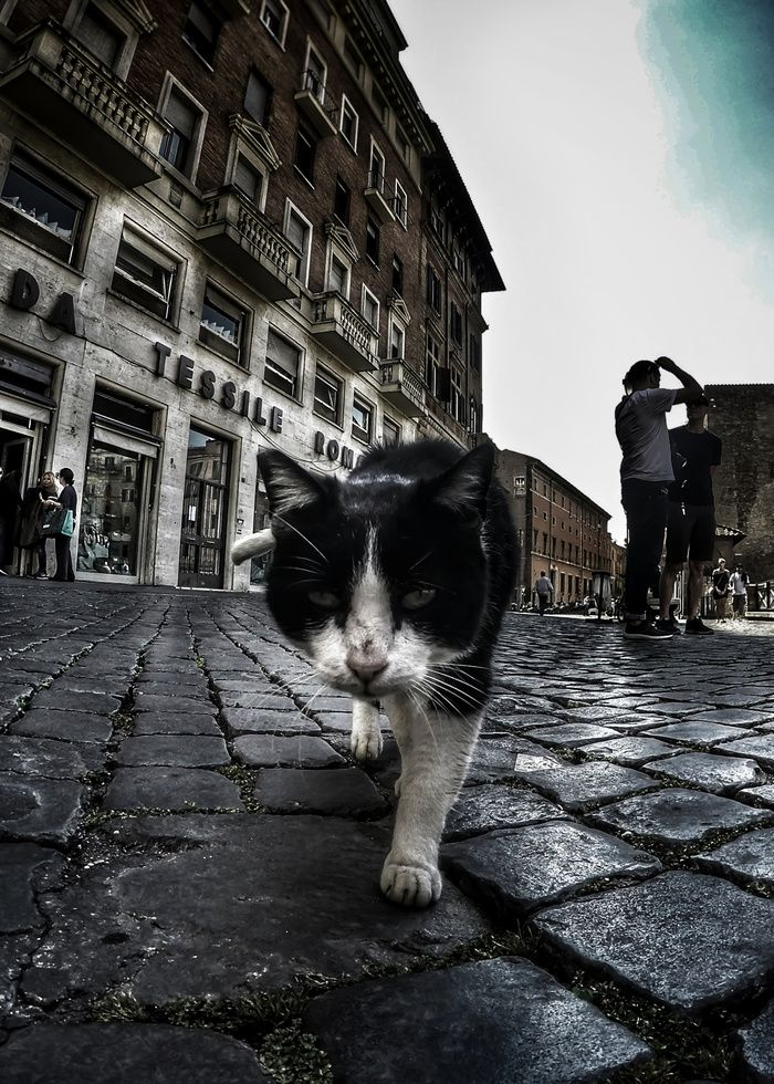 Close up portrait of a tough street cat in the city of Rome.  #cat #streetcat #animal #streetphotography #photography #gopro #wideangle #street #city #cityphotography #rome #italy #artprint