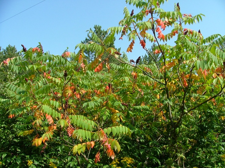 Staghorn sumac | Xeriscaping & Native Oklahoma Plants ...