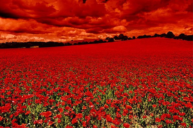 Poppy Field, Blackstone Farm Nature Reserve, UK. I would love to go to a field like this, full of flowers!