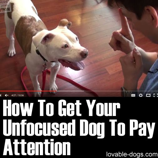 How To Get Your Unfocused Dog To Pay Attention ►► http://lovable-dogs.com/how-to-get-your-unfocused-dog-to-pay-attention/?i=p
