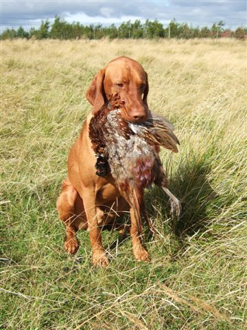 Vizsla This may be a breed you haven't heard of before, but it's actually one of the best dog breeds for kids. However birds are a different story.