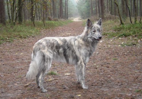 Dutch Shepherd, Hollandse herder langhaar