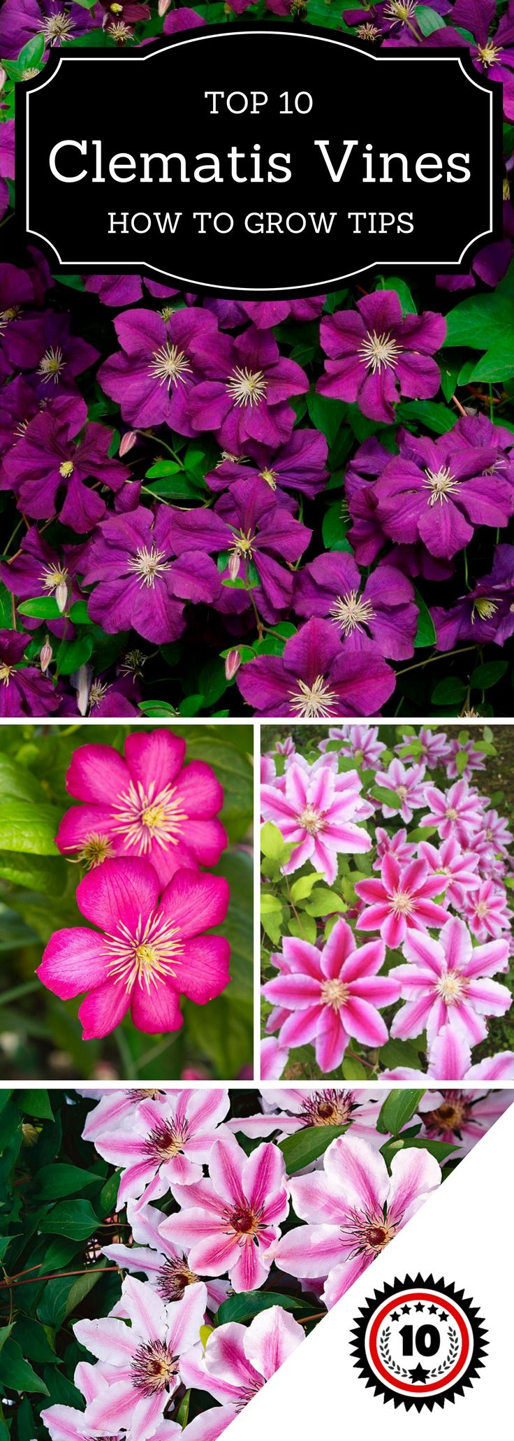 What is truly great about these climbers is that they are very easy to grow if you follow few simple steps. Keep reading to discover how to successfully grow these beauties…