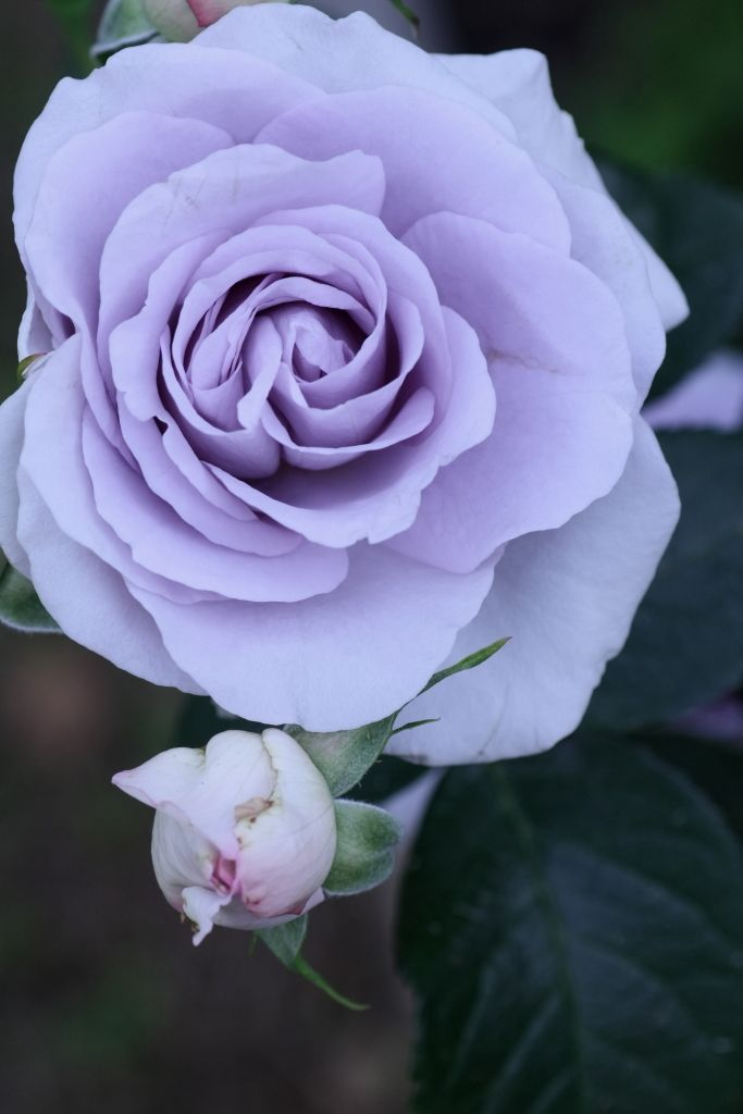 ~Floribunda Rose ~ Rosa 'Blue Bajou' Germany, 1993