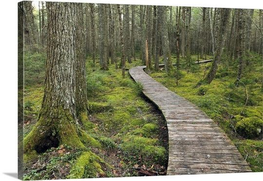 Canadian Hemlock grove with boardwalk, Kejimkujik National Park, Nova Scotia, Canada