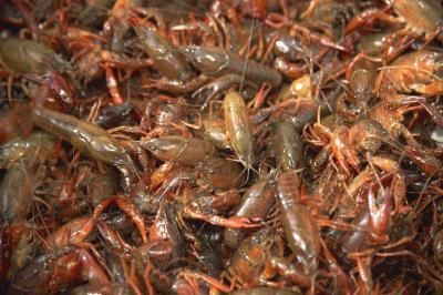 how to cook crawdads
