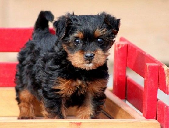 Yorkie poo puppies cheap | cutest things ever | Pinterest Yorkie