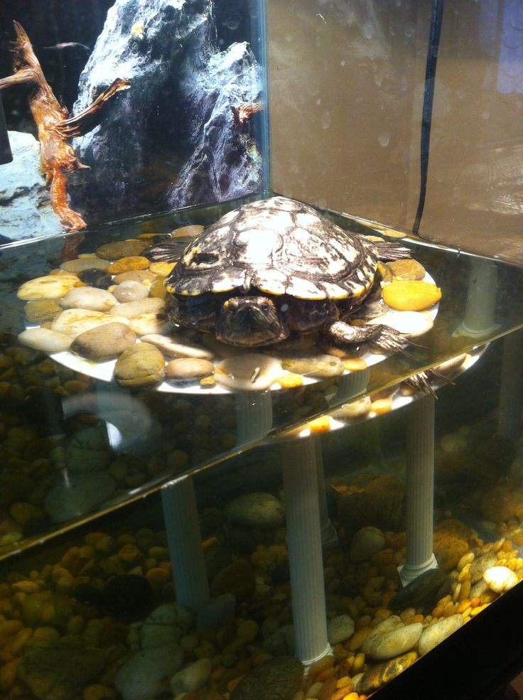 109 Best Images About Red Eared Sliders On Pinterest Indoor Pools Turtles And Sliders
