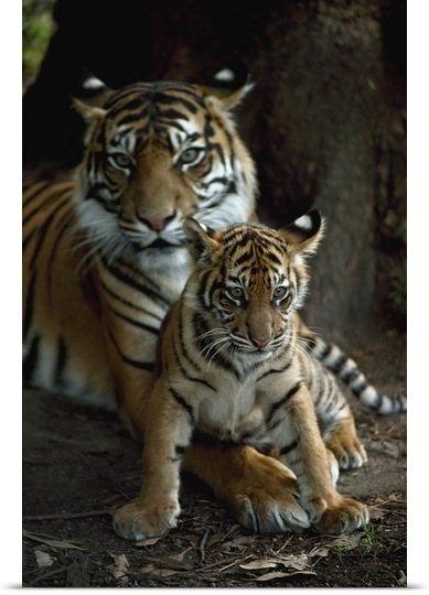 Sumatran mother tiger and cub