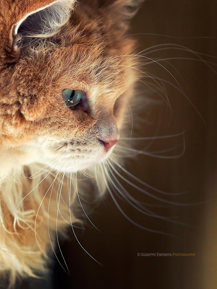kittehkats: Mr. Cesar by Giuseppe (lazy shooter) on Fivehundredpx