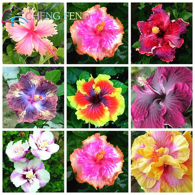 On Sale 100pcs Hibiscus Bonsai 24kinds Mix Color Beautiful Rosa Sinensis Flower Bonsai Perennial Flower Tree Flower Seeds Flower Seedlings Flowers Perennials