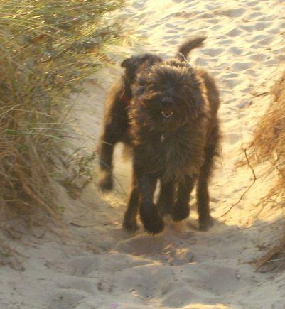 berger picard dog photo | Berger Picard, Hollandse Herder, Holländischer Schäferhund, Aloha ...
