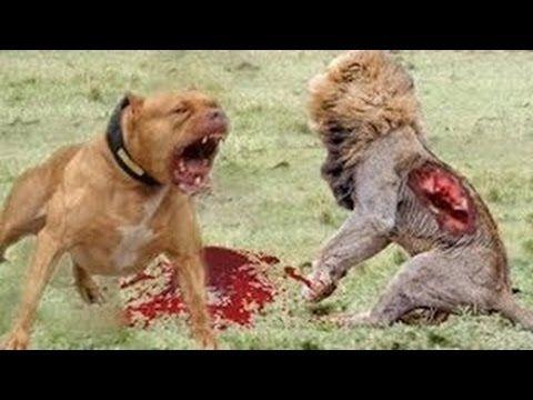 พิทบูล สุนัขสายพันธุ์นักล่าและการต่อสู้ที่น่ากลัว Pitbull Attack