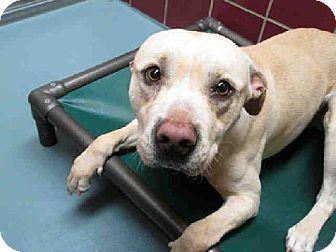 Houston, TX - Pit Bull Terrier Mix. Meet JAYJAY a Dog for Adoption.