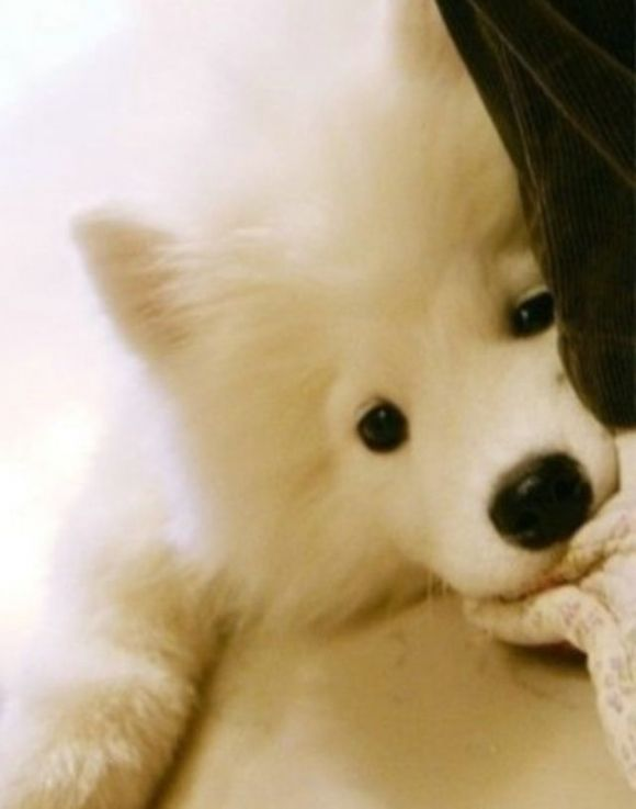 Samoyeds. Expensive I think, but so cute. I know one samoyed and she's the sweetest thing