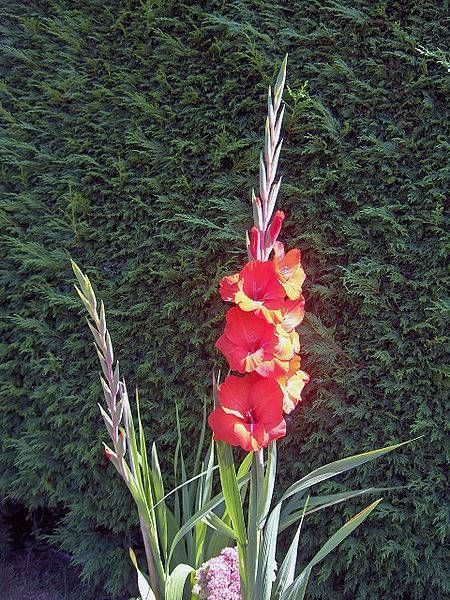Plant your gladiolus bulbs as soon as the ground is soft enough to work with. Plant your bulbs 6 inches deep in your garden and cover it halfway with loose soil. This will allow it to get extra warmth from the sunlight. After the temperature begins to warm up and the spring weather is consistent, cover the bulbs completely. Depending on the size of the bulb, plant them between 2 and 7 inches apart.