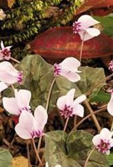 Cyclamen - hederifolium