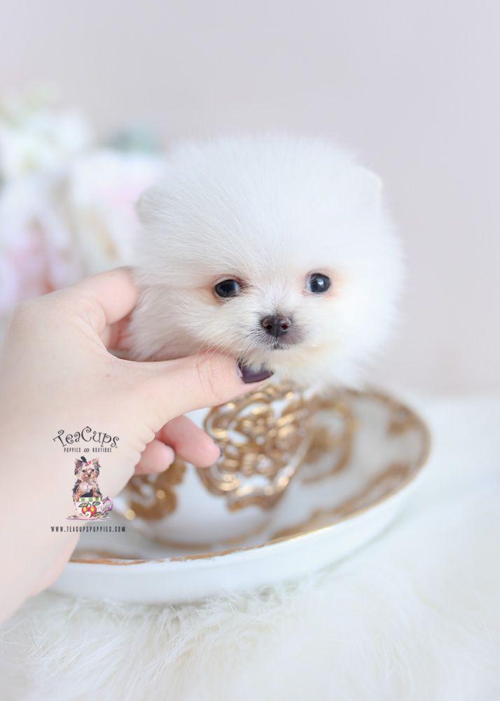 Tiny Teacup Pomeranian Puppy For Sale 346 B Teacup Pomeranian Pomeranian Puppy Teacup Pomeranian Puppy