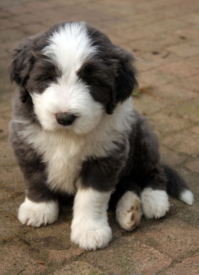 Bearded Collie Puppy