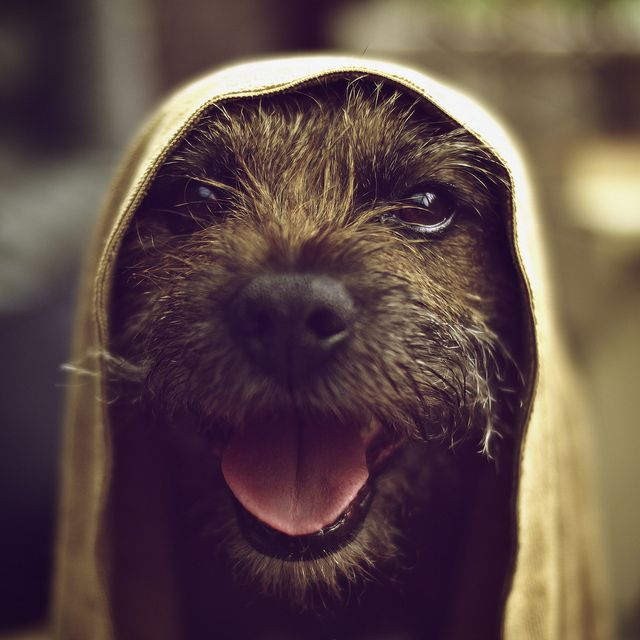 a happy border terrier.