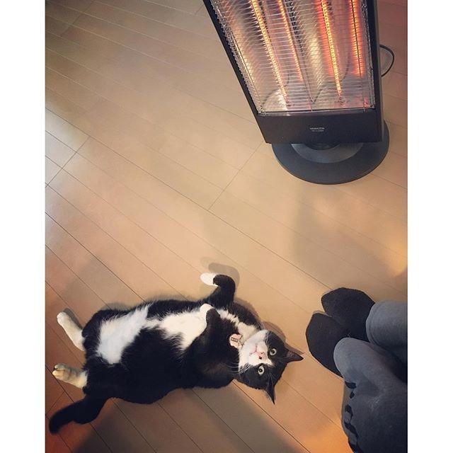 寒いので電気ヒーター(?)を出しました。 あったかくて気持ちが良いので私もクロも電気ヒーターの前から動けず…そろそろ家事をやらなければ💦 #猫 #ねこ #cat #ねこ部 #元野良猫 #保護猫 #黒猫 #デブ猫 #愛猫 #日本猫 #はちわれ #クロ #tuxedocat #catstagram
