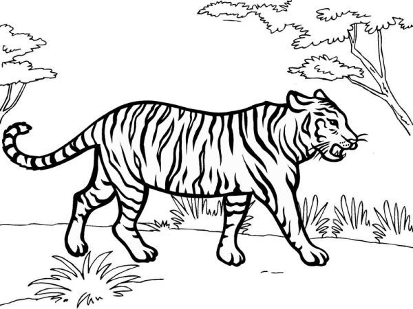 Jungle Tiger Coloring Sheet Animal Coloring Pages