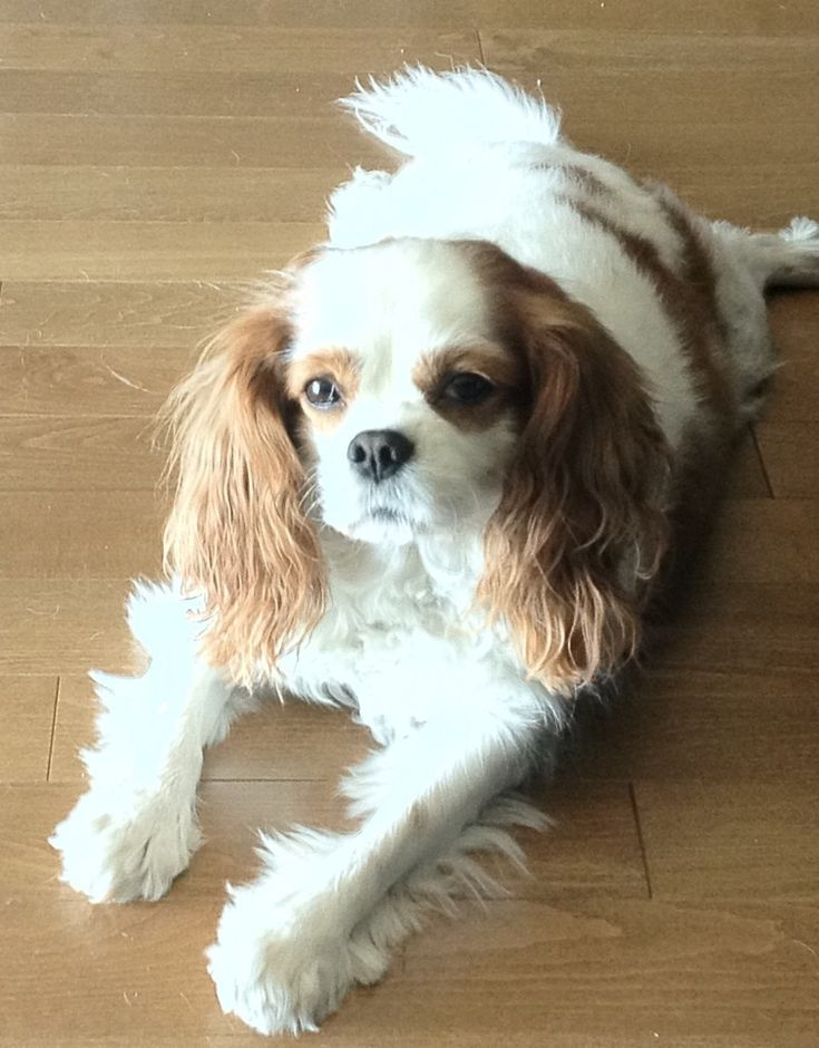 Bailey the Cavalier King Charles Spaniel