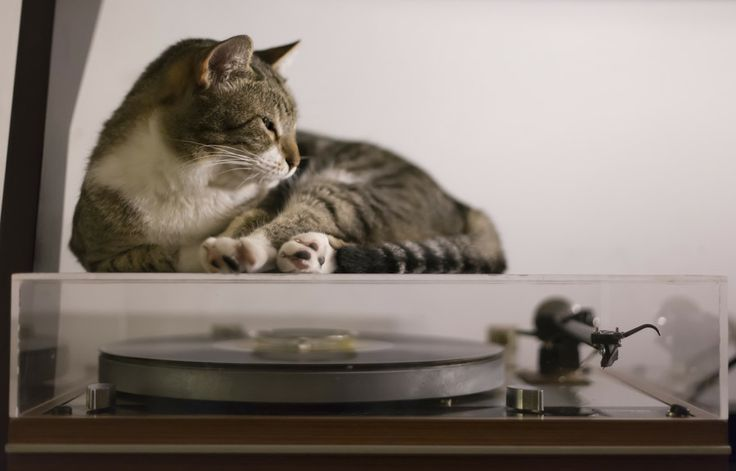 Cat on Thorens by Miguel Esteves on 500px