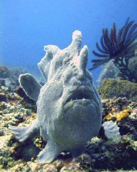 Frog Fish in Lombok, Indonesia . . . will have to add this to my Dive Sites still to visit!