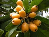 Loquat, Eriobotrya japonica, sometimes called Japanese plum or Japanese Medlar, is an attractive small tree or shrub that is frequently planted in landscapes as an ornamental in Louisiana. The tree has large thick evergreen leaves, a moderate rate of growth and does well in most well-drained soils. It can be used as an edible landscape plant.