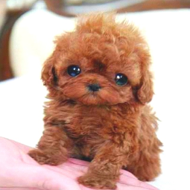 Baby Brown Poodle | www.pixshark.com - Images Galleries ...