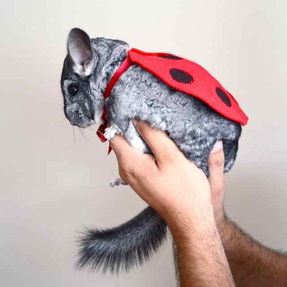 Ladybug / ladybird costume. Chinchilla pet Halloween costumes by la Marmota Café.